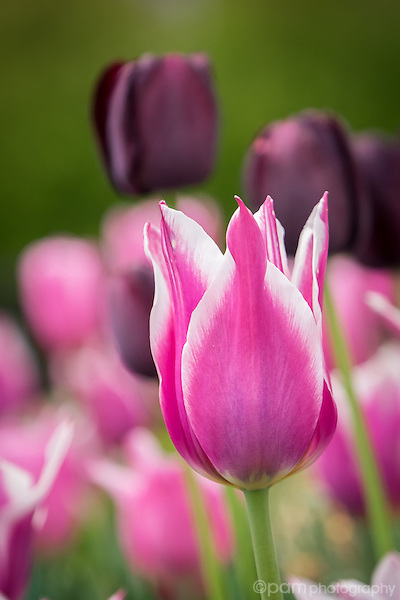 Pink and purple spring tulips