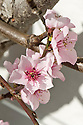 Blossom of Peach 'Hales Early', glasshouse, early March.