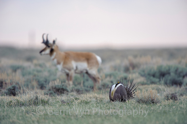 Pronghorn on a Greater Sage-Grouse lek on the Pinedale Mesa Anticline. Sublette County, Wyoming. June.