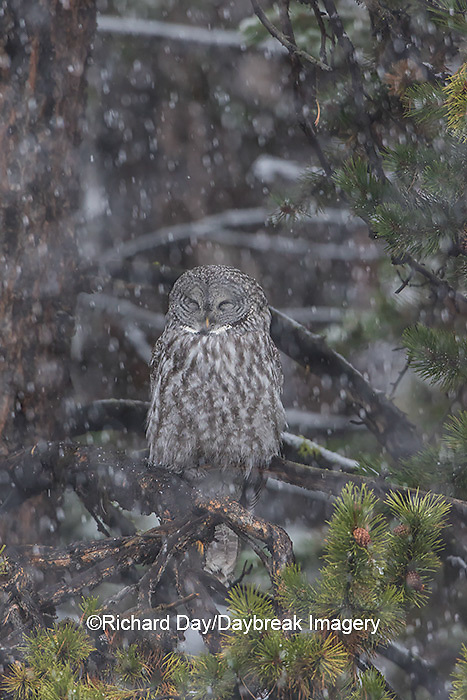01128-00107 Great Gray Owl (Strix nebulosa) in snowstorm, Yellowstone National Park, WY