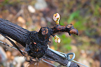 Close up of A syrah vine trained in Cordon Royat. Small buds and the leaves are just starting to appear. Domaine Gilles Robin, Les Chassis, Mercurol, Drome, Drôme, France, Europe