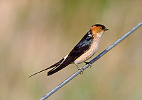 Red-rumped Swallow Hirundo daurica L 15-18cm. Similar to a Swallow but with a pale rump. Adults have blue-black upperparts with a buffish nape and cheeks, and streaked pale underparts.