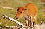 Bison Newborn Calf, Close Portrait, Tangled Creek, Yellowstone National Park, Wyoming