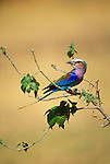 A lilac breasted roller perched on a branch in the  Zambezi River Valley.