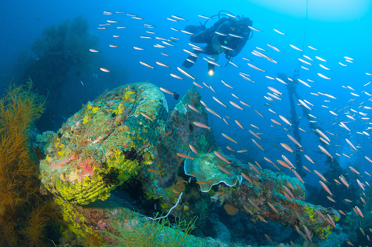 A diver looks on at a field gun on the wreck of a Japanese Maru sunk during the second world war, Morovo Lagoon, Solomon Islands