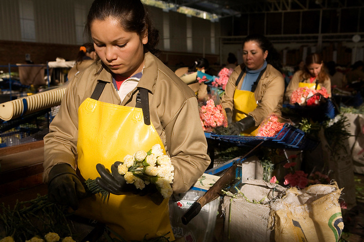 BOGOTA, COLOMBIA -- JANUARY 21:  Workers sort carnations at Alpes Flowers near Bogota  on January 21, 2007. (Photo by Dennis Drenner/Aurora).