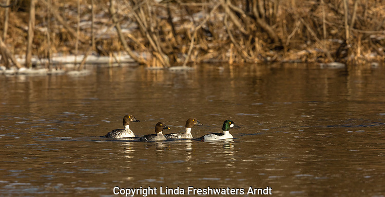 Common goldeneye swimming in the Chippewa river in northern Wisconsin.
