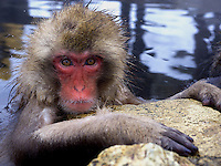 A baby Japanese macaque, a.k.a. Snow Monkey relaxes in a hot spring at Jigokudani (Hell Valley) in Nagano Prefecture, Japan. Japanese snow monkeys live in extreme conditions where winter temperatures can drop to -20 c, and they are unique in taking hot bath, known as an Onsen..28 Jan 2011