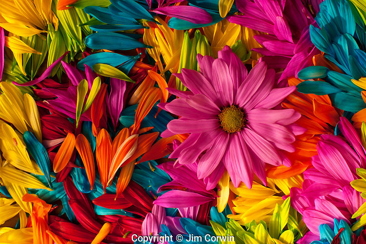 Multicolored daisy petals close-up