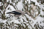 A Clark's nutcracker perches in a snowy tree in the Shoshone National Forest in Wyoming.