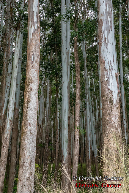 Eucalyptus Trees Near Honokaa