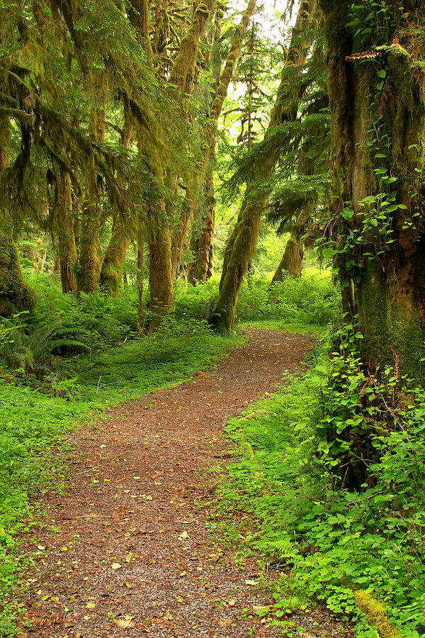 Trail through rain forest on Maple Glade Rain Forest Trail, Quinault Rain Forest, Olympic National Park, Olympic Peninsula, Grays Harbor County, Washington, USA