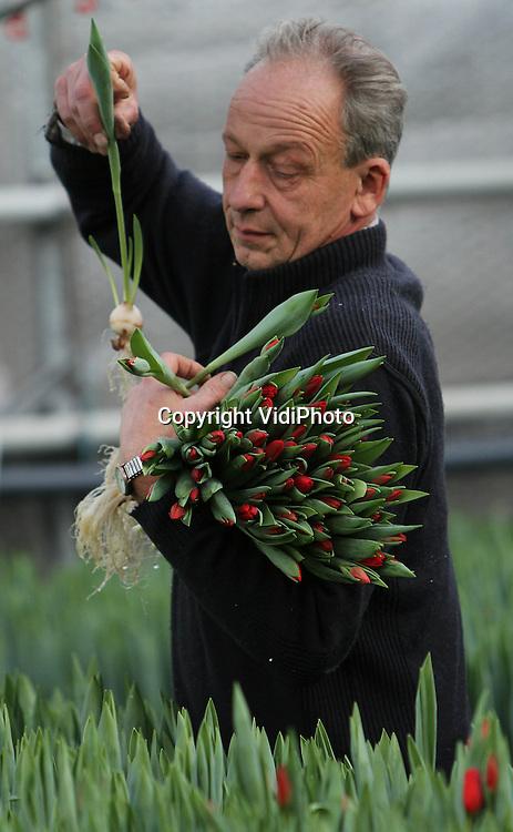 Foto: VidiPhoto..OPHEUSDEN - Er zijn weer volop echte Hollandse tulpen. Kweker J. Arends uit Opheusden is inmiddels druk met met de oogst van het oerhollandse product. Omdat er nog niet zo veel aanvoer is bij veiling Plantion van de Nederlandse tulp, zijn de prijzen goed. De meeste tulpen gaan voor export naar andere Europese landen. De tulp is tot Pasen, na de roos, de meest verkochte snijbloem..