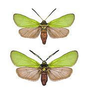 Cistus Forester - Adscita geryon<br /> 54.003 BF164