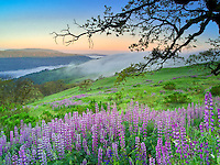 Prairie with lupines and sunrise. Redwood National Park, California