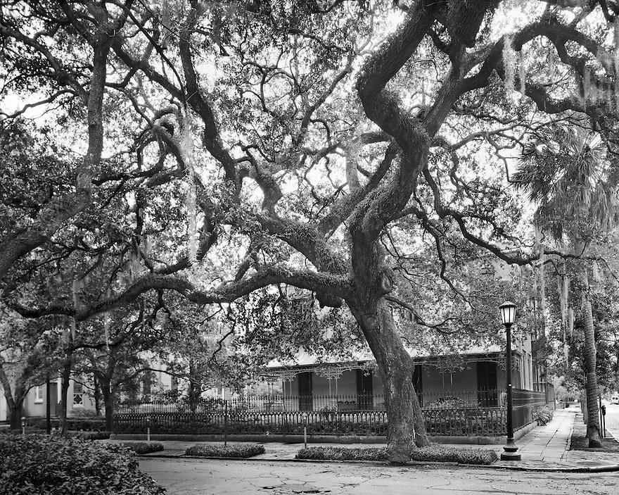 """Madison Square Tree""<br /> Savannah, Georgia"