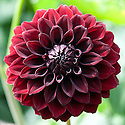 Dahlia 'Black Fire', late August.