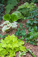 Ground covers for shade garden: Brunnera King's Ransom, Heuchera Key Lime, Pulmonaria, Helleborus, Fragaria, Tiarella Mystic Mist, Athyrium, ferns, Rohdea japonica, Fragaria strawberries, Vinca Wojo's Gem, Epimedium . Foamflower