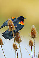 Red-winged Blackbird (Agelaius phoeniceus) male on teasel plant.  Pacific Northwest.  Spring.