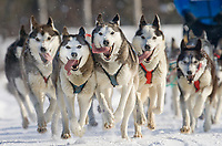 Siberian husky dog team during the 2007 Open North American Championship sled dog race (the world's premier sled dog sprint race) is held annually in Fairbanks, Alaska.