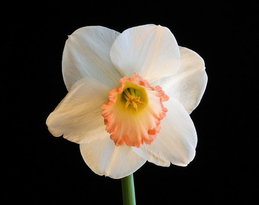 Pink trumpet daffodil