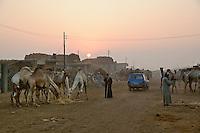 Camel market at sunrise, Cairo, Egypt