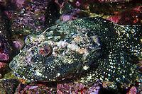 Great Sculpin ( Myoxocephalus polyacanthocephalus ) underwater in Haida Gwaii, British Columbia, Canada.