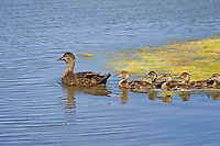 American Black Duck mom & young..Spring..Nova Scotia, Canada.