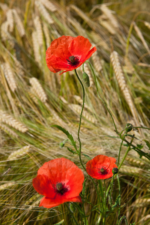 Common field or corn poppies (Papaver rhoeas) growing in amongst barley, early July.