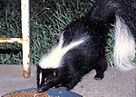 Striped Skunk ( Mephitis mephitis) visits outside cats feeder on patio, Lynn, Mass.   Its spray is accurate to 15 feet ( 5 meters).