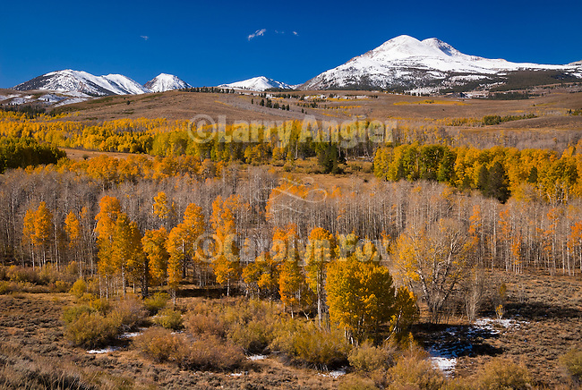 Aspen trees with golden and orange leaves, autumn; snow capped peaks in the Sierra Nevada
