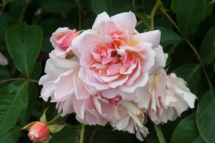 Rosa 'Felicia', late June. A silvery pink Hybrid Musk rose. Bred by Pemberton, 1928.