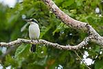 Pacific Kingfisher (Todiramphus sacer), Kapa Island, Vava'u, Tonga
