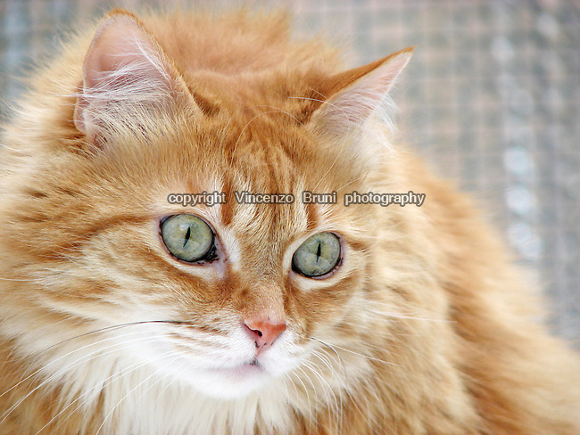 Close up of a long haired red tabby cat looking towards lower right corner of the frame.