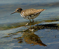 Adult spotted sandpiper in breeding plumage