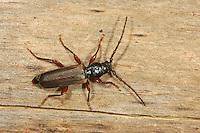 Gemeiner Fichtensplintbock, Fichtensplint-Bock, Fichten-Splintbock, Zerstörender Fichtenbock, Tetropium castaneum, Tetropium luridum, Black spruce beetle, Black spruce long-horn beetle, European spruce longhorn beetle