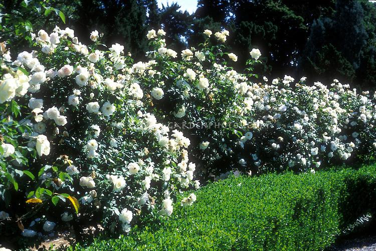 White roses Iceberg | Plant & Flower Stock Photography: GardenPhotos.com