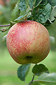 Apple 'George Carpenter', mid September. An English dessert apple bred in 1902 by George Carpenter of West Hall Gardens, Byfleet, Surrey.