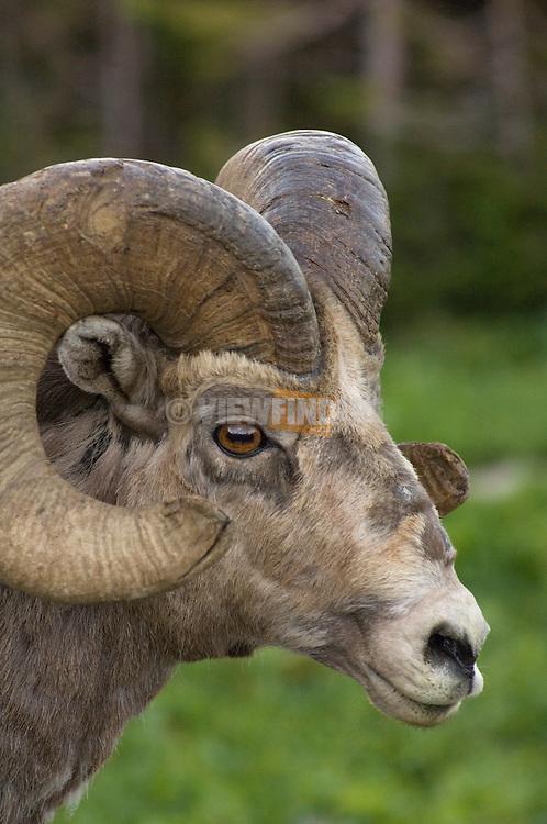 Big Horn Sheep; Logan Pass, Glacier National Park, Montana.