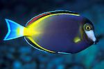 White-nosed surgeonfish (Acanthurus japonicus)