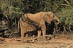 Elephant du désert  près de la rivière Khumid. .Namibie. Afrique.Desert elephant nearby Khumid river.Namibia; Africa