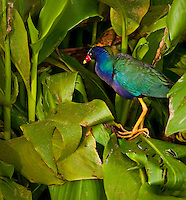 Purple Gallinule in Green Arrow Arum at Green Cay Wetlands, Boca Raton Florida