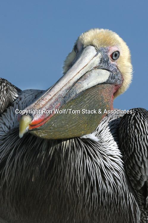 Brown Pelican (Pelecanus occidentalis). Breeding adult. Santa Cruz, Santa Cruz Co., Calif.