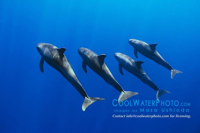 pygmy killer whales, Feresa attenuata, Kona Coast, Big Island, Hawaii, USA, Pacific Ocean
