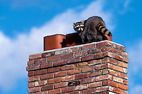 RACCOON on rooftop looking for a place to buiild nest or seek shelter..Autumn. North America..(Procyon lotor).