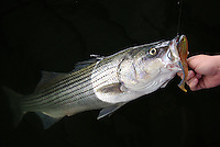 Striped bass caught on Berkley Powerbait Mullet swimbait in Lake Greeson, Arkansas