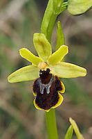 Kleine Spinnen-Ragwurz, Kleine Spinnenragwurz, Ophrys araneola, small spider ophrys, L'ophrys petite araignée, ophrys litigieux, Ragwurzen, Kerfstendel, Mimikry, Lockmimikry