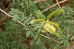 Acacia flowers<br />