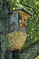 Hornisse, Hornissen, Nest, Hornissennest in einem Vogelnistkasten, ist so groß geworden, dass es nach außen erweitert werden musste. Vespa crabro, hornet, hornets, brown hornet, European hornet, nest