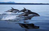 nb225. Pacific White-sided Dolphins (Lagenorhynchus obliquidens) leaping. British Columbia, Canada, Pacific Ocean..Photo Copyright © Brandon Cole.  All rights reserved worldwide.  www.brandoncole.com..This photo is NOT free. It is NOT in the public domain...Rights to reproduction of photograph granted only upon payment of invoice in full.  Any use whatsoever prior to such payment will be considered an infringement of copyright...Brandon Cole.Marine Photography.http://www.brandoncole.com.email: brandoncole@msn.com.4917 N. Boeing Rd..Spokane Valley, WA 99206   USA..tel: 509-535-3489